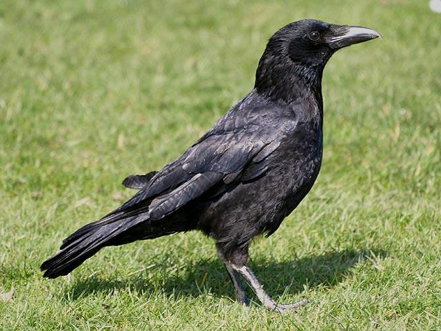 Excursion ornithologique des 6 et 8 f vrier 2007 for Oiseaux des jardins belgique