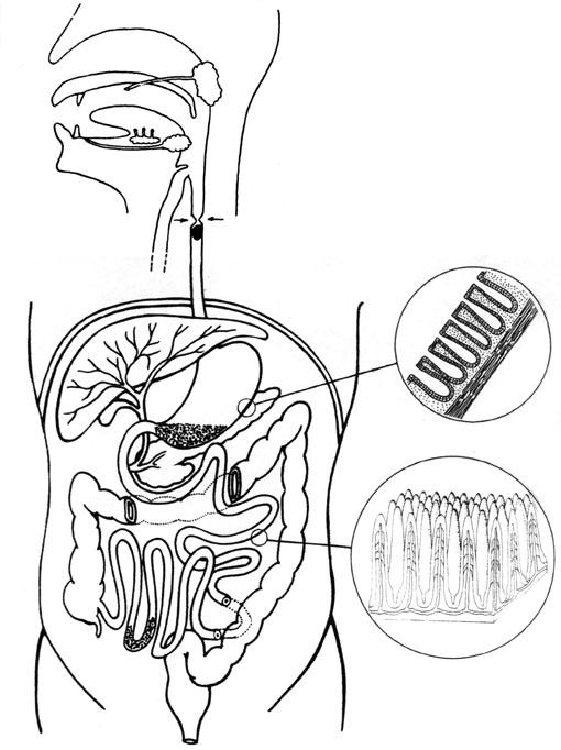tube digestif dessin
