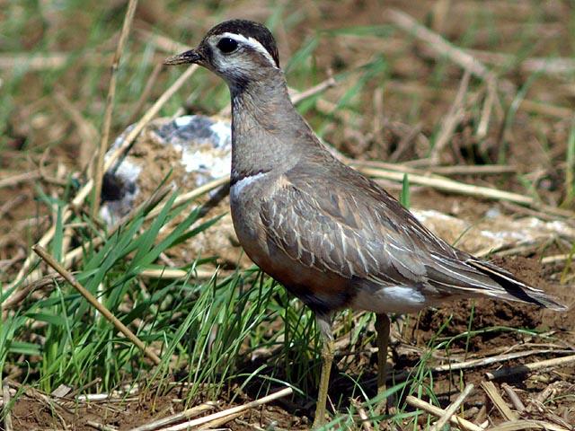 Charadriiformes for Oiseaux des jardins belgique