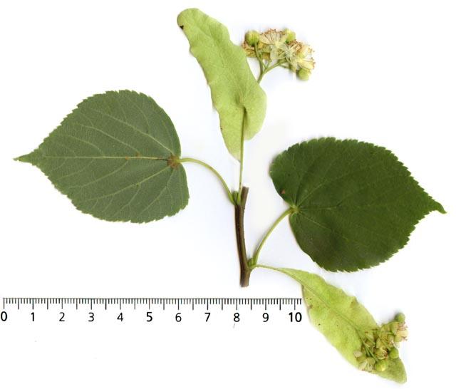 Beurre de tilleul tilia platyphyllos tillia cordata - Tilleul a grandes feuilles ...