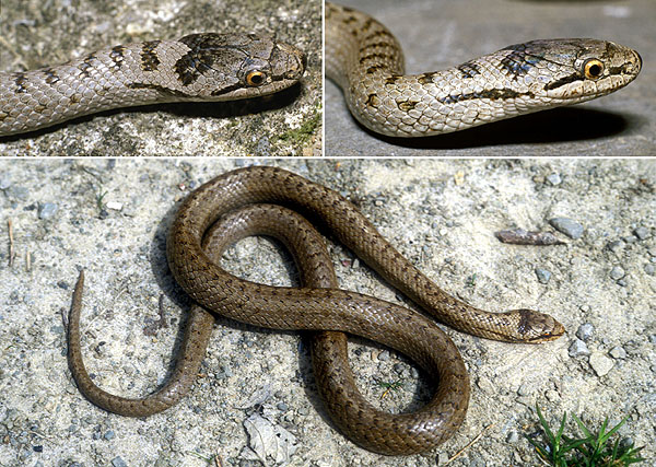 http://www.afblum.be/bioafb/especes/reptiles/coroaust.JPG