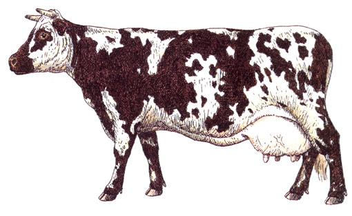 Le lait - Vache normande dessin ...