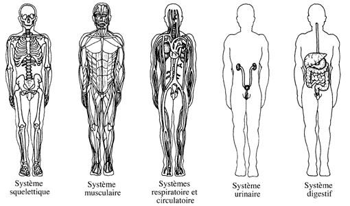 Résultats de recherche d'images pour «systèmes du corps humain»