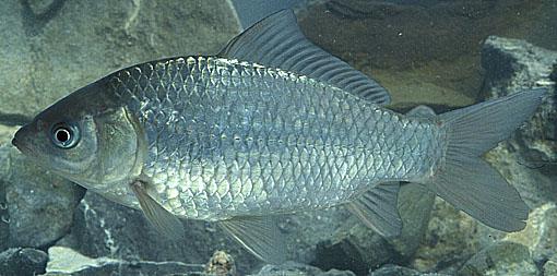 La reproduction asexu e for Elevage poisson rouge