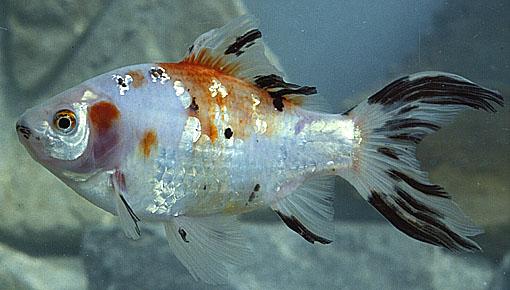 La reproduction asexu e for Acheter poisson rouge liege