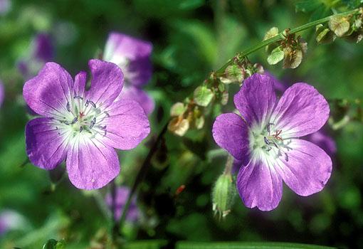 rencontre des cellules reproductrices chez les plantes à fleurs