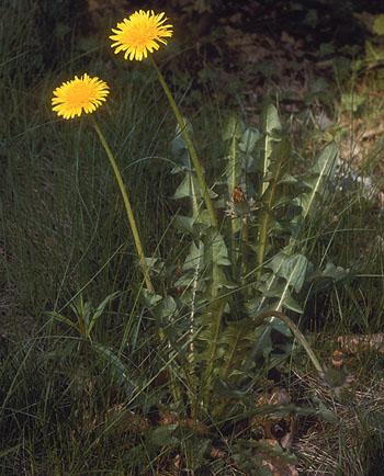 La reproduction asexu e for Plantes belgique