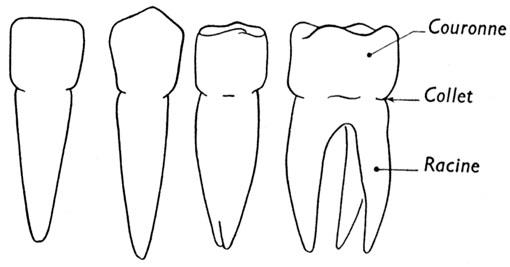 Les dents et l 39 hygi ne dentaire - Coloriage dent ...