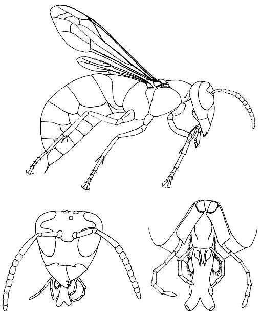 Les insectes - Sauterelle dessin ...