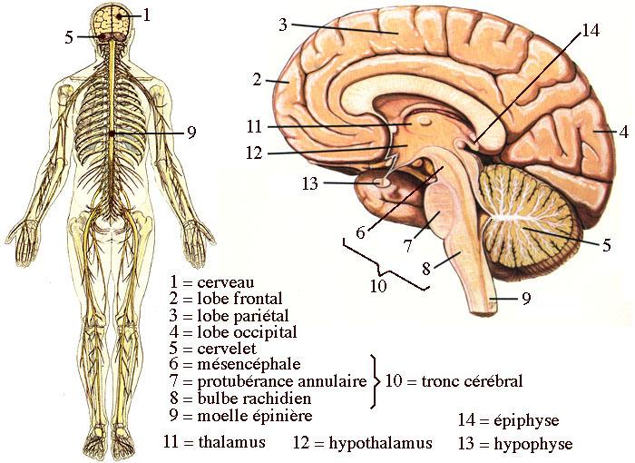 Structure du système nerveux